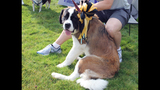 More than 500 dogs attend Charlie Batch Pup… - (6/25)