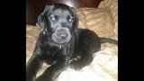 Photos: 1-year-old black lab Tyson - (2/13)