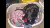 Photos: 1-year-old black lab Tyson - (8/13)
