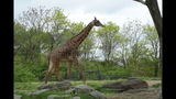 Red panda, giraffes at Pittsburgh Zoo - (4/14)