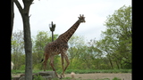 Red panda, giraffes at Pittsburgh Zoo - (2/14)