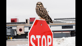 Photos: Endangered owl appears at Pittsburgh… - (1/5)