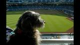 PHOTOS: Dogs & their owners root on the Pirates - (7/7)