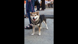 Hundreds of dogs walk in Pittsburgh Pup Crawl - (10/21)