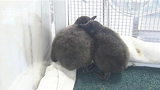 African penguin chicks debut at National Aviary _6631260