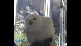 Snowy Owl_8276454