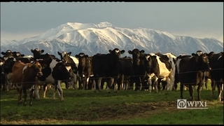 500 cows go missing from New Zealand farm