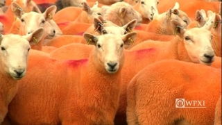 Sheep farmer paints his entire herd bright orange