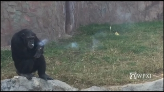 Smoking chimpanzee goes through a pack of cigarettes every day