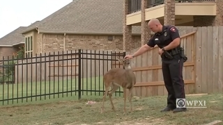 Deer found tied to a house is too friendly for its own good