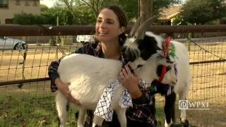 Goat yoga: the latest trend to sweep Arizona yoga community