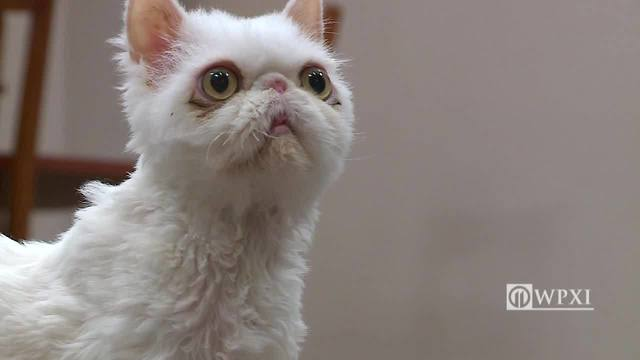 neglected persian cat rescued from 5 pounds of his own fur
