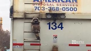 Raccoon rides on garbage truck