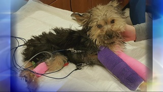 Yorkie puppy with 2 broken legs abandoned at Humane Society