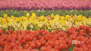 Tulips burst into bloom in Washington
