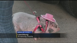 Council meeting held to decide if Finley the pig can stay with his family