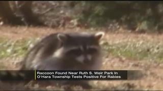 Rabid raccoon found in O