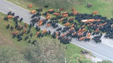 Hundreds of cows being rescued from flooded Florida ranch
