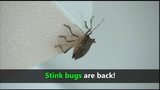 VIDEO: Stink bugs are back
