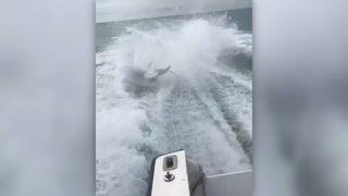 RAW VIDEO: Men dragging shark