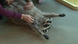 Julia Mancuso plays with raccoons in a Korean café