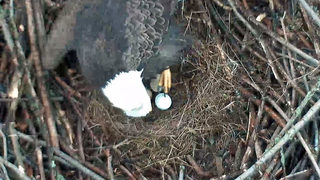 Hays eagles lay third egg