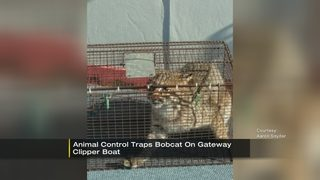 Bobcat captured aboard Gateway Clipper vessel on Mon River