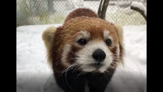 PHOTOS: Red Panda enjoys a snow day at the Pittsburgh Zoo