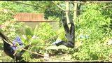 RAW: Siamang monkeys at the Pittsburgh Zoo