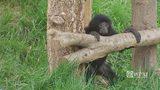RAW VIDEO: Zoo debuts baby siamang
