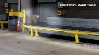 VIDEO: Monkey escapes cage in airport