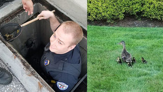 Ducklings fall into sewer, officer climbs in after them