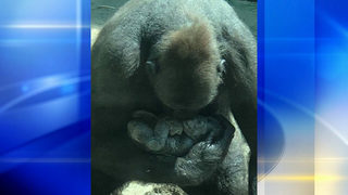 Pittsburgh Zoo welcomes newborn baby gorilla