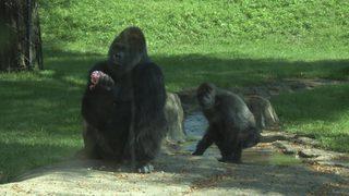 Pittsburgh Zoo to celebrate World Gorilla Day on Sunday