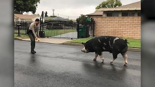 VIDEO: Deputies catch pig using Doritos