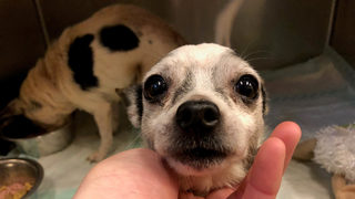 2 senior Chihuahuas found in box on side of the road