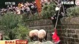 RAW VIDEO: Girl falls into panda enclosure