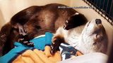 VIDEO: Students rescue otter from dumpster