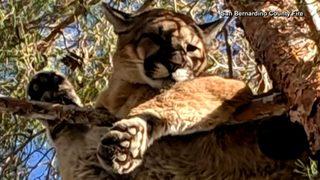 VIDEO: Mountain lion stuck in tree