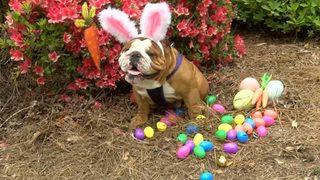 VIDEO: Bulldog wins contest to be next Cadbury bunny