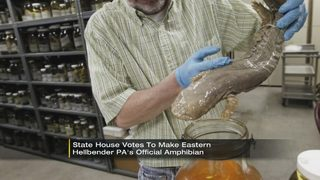 Eastern hellbender voted Pennsylvania