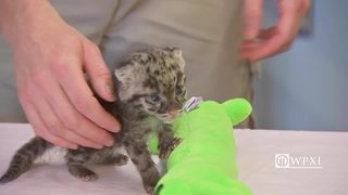 RAW VIDEO: Baby clouded leopard debuts