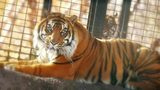 Tiger attacks Kansas zookeeper