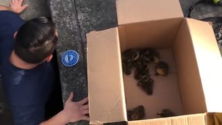 VIDEO: Firefighters rescue ducklings