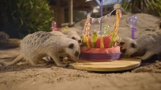 VIDEO: Meerkat quadruplets celebrate birthday