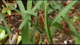 App lets you know where the cicadas are buzzing