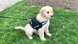 Zane is the new comfort dog for the Pittsburgh Bureau of Police. Source: Pittsburg Bureau of Police