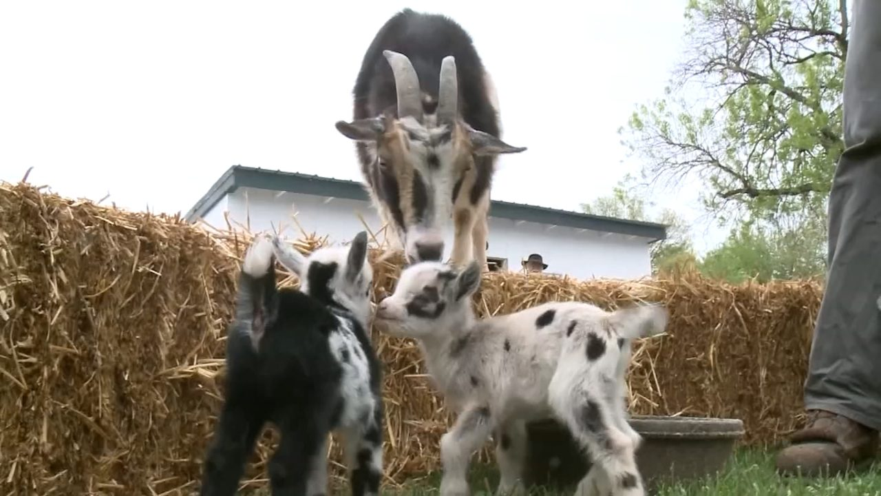 Lancaster farm is having 'baby boom' of goats | WPXI