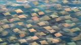 VIDEO: School of rays spotted by drone
