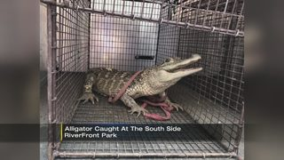 Alligator captured at South Side Riverfront Park
